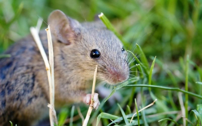 animals,nature nature animals grass wildlife outdoors mice 1920x1200 wallpaper – animals,nature nature animals grass wildlife outdoors mice 1920x1200 wallpaper – Wildlife Wallpaper – Desktop Wallpaper