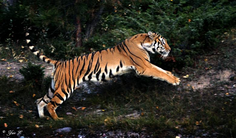 jumping tiger by *Yair-Leibovich