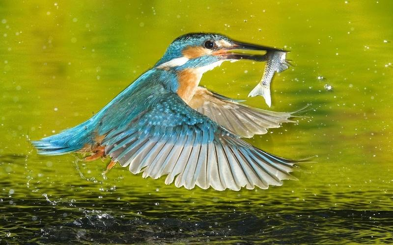 birds,wildlife birds wildlife kingfisher 1920x1200 wallpaper – birds,wildlife birds wildlife kingfisher 1920x1200 wallpaper – Wildlife Wallpaper – Desktop Wallpaper