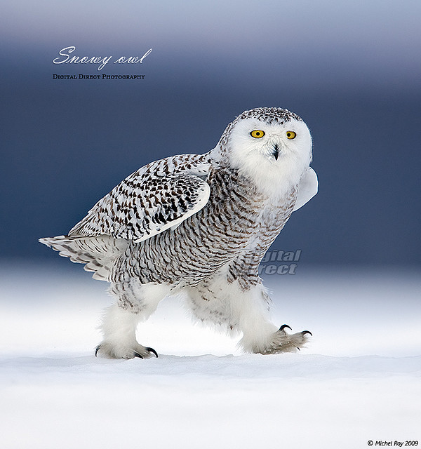 Snowy owl fashion show ;-) Parade de mode de harfang des neiges | Flickr - Photo Sharing!