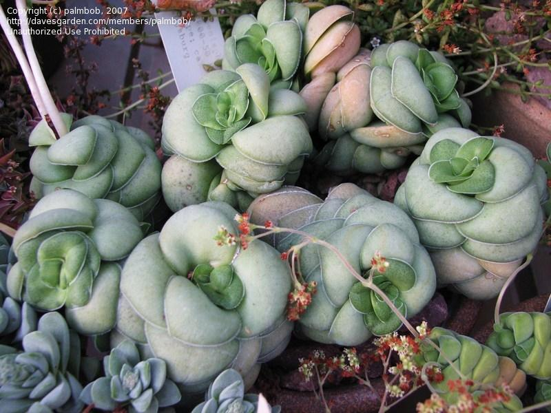 PlantFiles: Picture #1 of Crassula (Crassula pseudohemisphaerica)