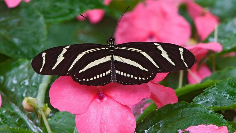 nature,flowers nature flowers butterfly animals 1920x1080 wallpaper – nature,flowers nature flowers butterfly animals 1920x1080 wallpaper – Butterflies Wallpaper – Desktop Wallpaper