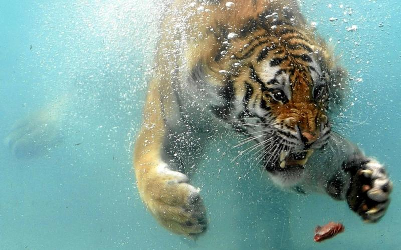 animals,tigers animals tigers swimming underwater 1920x1200 wallpaper – animals,tigers animals tigers swimming underwater 1920x1200 wallpaper – Tiger Wallpaper – Desktop Wallpaper