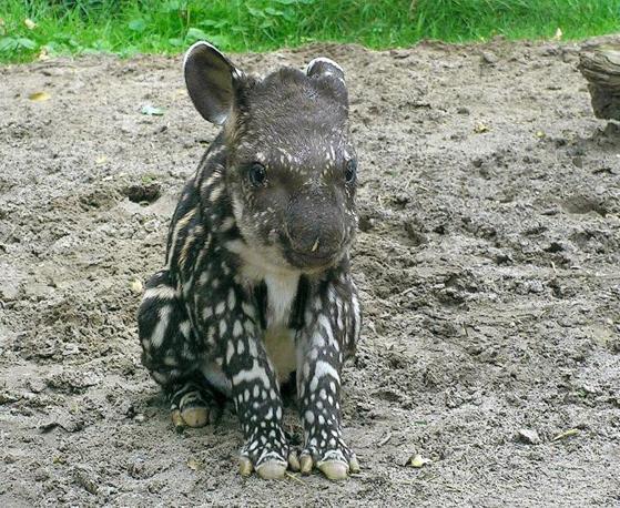 È nato Nando, il tapiro dello zoo di Jaderberg