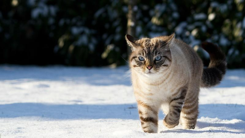 snow,cats snow cats animals 1920x1080 wallpaper – snow,cats snow cats animals 1920x1080 wallpaper – Snow Wallpaper – Desktop Wallpaper