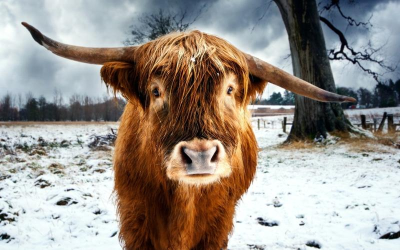 animals,funny animals funny horns buffalo hdr photography american buffalo 1680x1050 wallpaper – animals,funny animals funny horns buffalo hdr photography american buffalo 1680x1050 wallpaper – Funny Wallpaper – Desktop Wallpaper