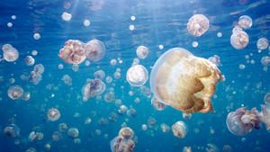 ???? Golden Jellyfish Photos - ??? Great Migrations - National Geographic Channel - ??