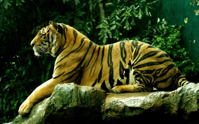 animals,tigers animals tigers 2560x1600 wallpaper – animals,tigers animals tigers 2560x1600 wallpaper – Tiger Wallpaper – Desktop Wallpaper