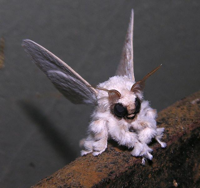 Poodle moth (Artace sp ?), Venezuela | Flickr - Photo Sharing!