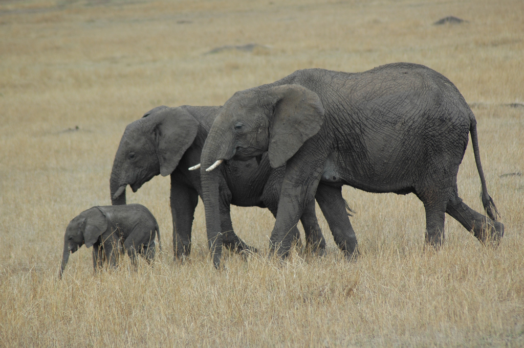 All sizes | Elephant family - Masai Mara | Flickr - Photo Sharing!