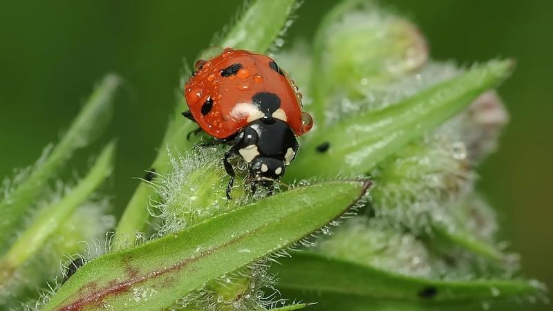 nature,insects nature insects plants ladybirds 1920x1080 wallpaper – nature,insects nature insects plants ladybirds 1920x1080 wallpaper – Insects Wallpaper – Desktop Wallpaper