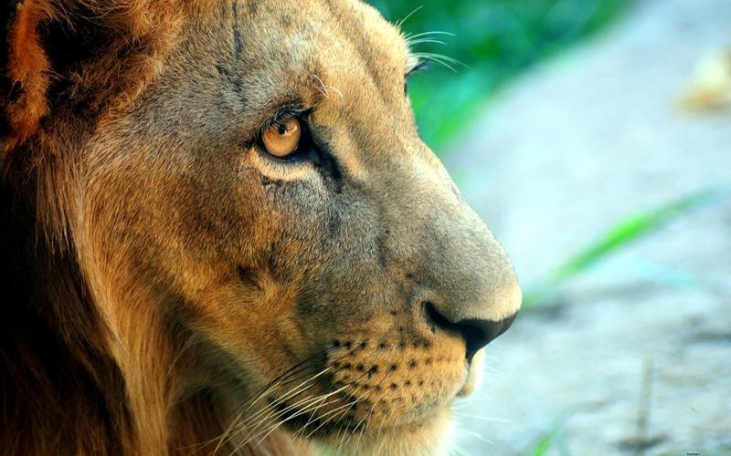 close-up,lions closeup lions 2560x1600 wallpaper – close-up,lions closeup lions 2560x1600 wallpaper – Lion Wallpaper – Desktop Wallpaper