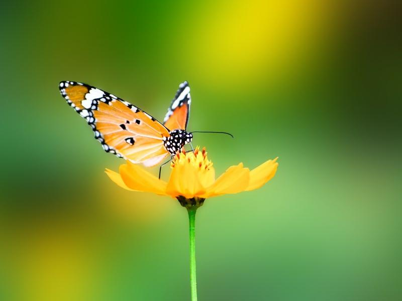 green,nature green nature flowers butterfly insects summer season depth of field 1600x1200 wallpaper – green,nature green nature flowers butterfly insects summer season depth of field 1600x1200 wallpaper – Butterflies Wallpaper – Desktop Wallpaper