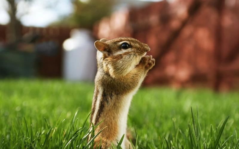 animals,grass animals grass chipmunks 1680x1050 wallpaper – animals,grass animals grass chipmunks 1680x1050 wallpaper – Grass Wallpaper – Desktop Wallpaper