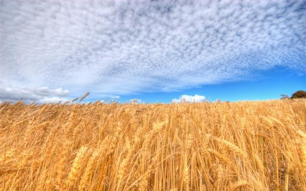 clouds,fields clouds fields wheat 1920x1200 wallpaper – Fields Wallpapers – Free Desktop Wallpapers