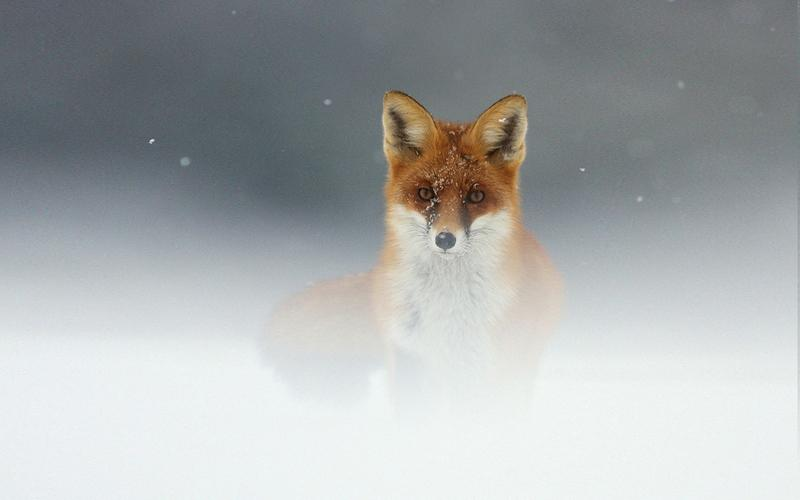 snow,red snow red animals wildlife fog mist foxes 1920x1200 wallpaper – snow,red snow red animals wildlife fog mist foxes 1920x1200 wallpaper – Wildlife Wallpaper – Desktop Wallpaper