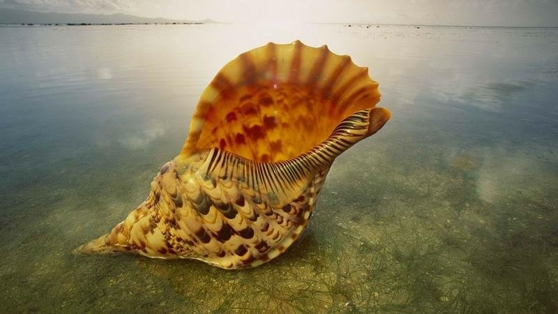 world,shell world shell giant triton australia 1920x1080 wallpaper – world,shell world shell giant triton australia 1920x1080 wallpaper – Shells Wallpaper – Desktop Wallpaper