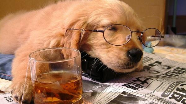 animals,tea animals tea dogs glasses whiskey puppies sleeping drunk drinks newspapers scotch 1920x1080 wallpa – Photography Wallpapers – Free Desktop Wallpapers