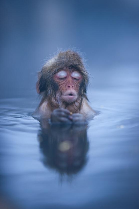 Animals / A Japanese Snow Monkey settles in to a hot spring bath at Jigokudani?#japan?#nagano