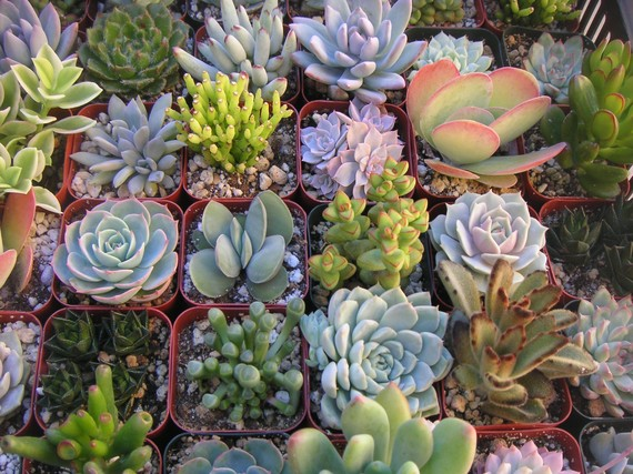 A Collection Of 12 Succulent Plants Great For by SucculentsGalore