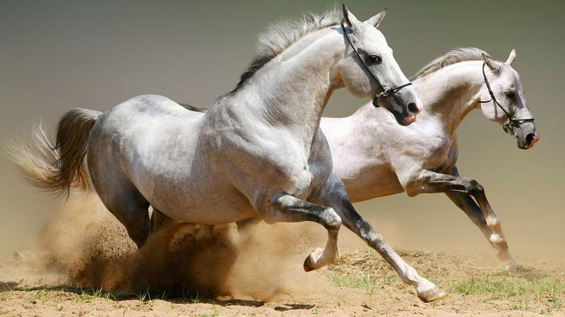 animals,horses animals horses 1366x768 wallpaper – animals,horses animals horses 1366x768 wallpaper – Horses Wallpaper – Desktop Wallpaper