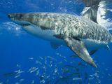 Great White Sharks - Shark Pictures - Great White Facts - National Geographic