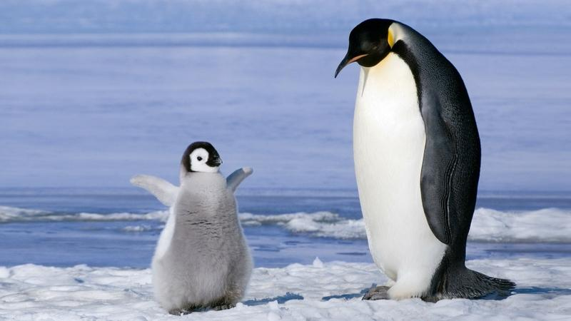 birds,penguins birds penguins baby birds 1920x1080 wallpaper – birds,penguins birds penguins baby birds 1920x1080 wallpaper – Birds Wallpaper – Desktop Wallpaper