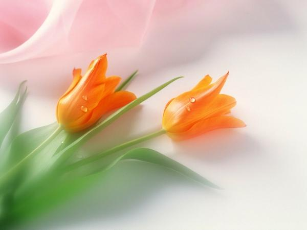 flowers,tulips flowers tulips orange flowers 1600x1200 wallpaper – Orange Wallpapers – Free Desktop Wallpapers