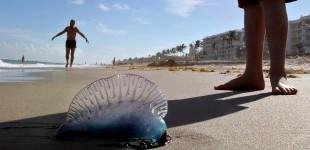Portuguese men-of-war menace beaches | CLIK/HEAR | Multimedia, photography, video showcase of The Palm Beach Post