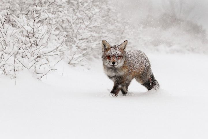 Fantastic Red Fox Photos Captured in the Wild - My Modern Metropolis