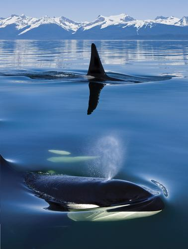 F&O Forgotten Nobility - 100leaguesunderthesea: Close up of Orca whales...