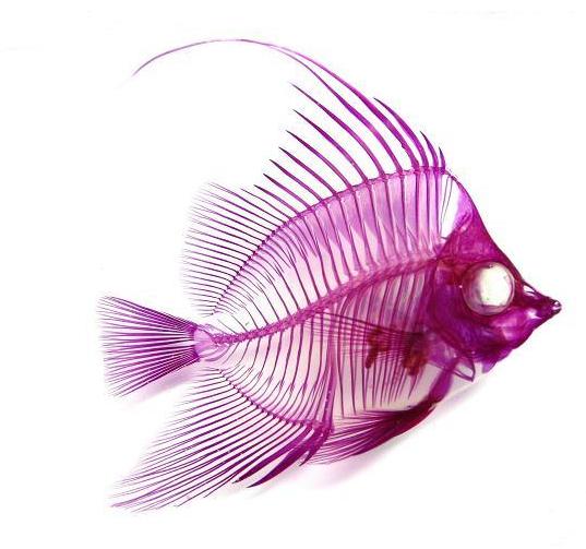 透明標本 (透明二重染色標本) マゼンタとシアンに輝く全く新しい形のインテリア標本 | デザインブログ バードヤード