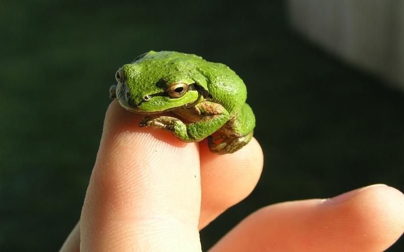 frogs,Amphibians frogs amphibians 1680x1050 wallpaper – frogs,Amphibians frogs amphibians 1680x1050 wallpaper – Amphibians Wallpaper – Desktop Wallpaper
