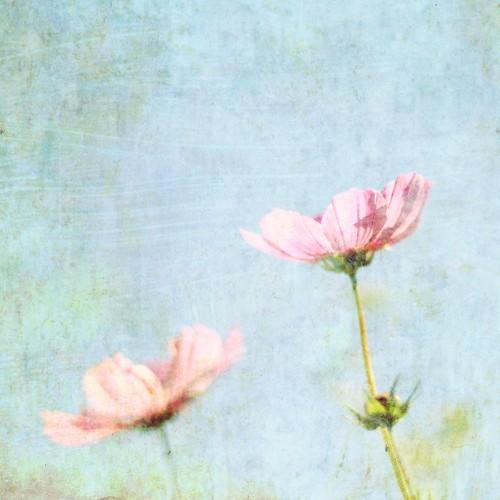 Fine Art Photography Cosmos pastel pink baby by LupenGrainne
