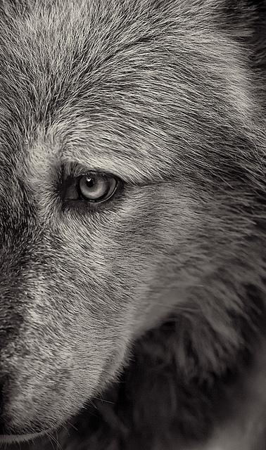 Wolf 3 | Flickr - Photo Sharing!