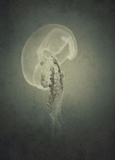Moon jellyfish Art Print by pascal+ | Society6