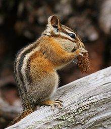 Chipmunk - Wikipedia, the free encyclopedia