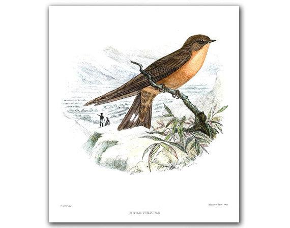 Swallow Cotile Foligula vintage illustration by DejaVuPrintStore