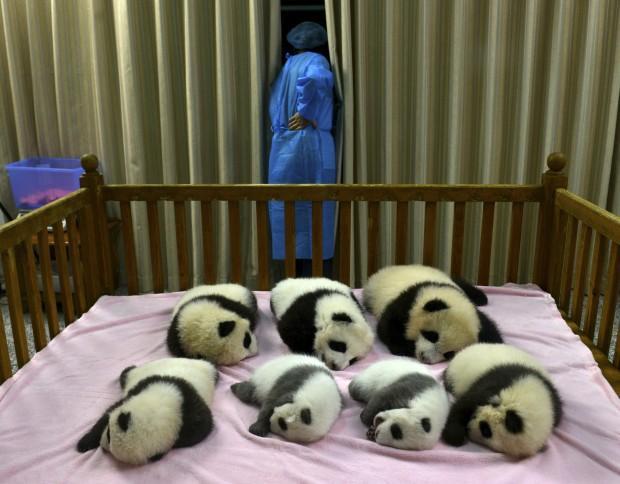 Foto Cina, nascita da record: 7 panda giganti in tre mesi - 1 di 3 - Repubblica.it