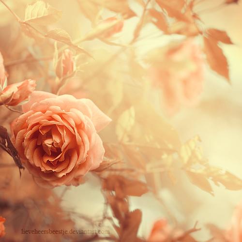 Rose garden by *lieveheersbeestje