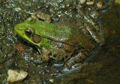 Green Frog - Amphibians - Pinelands Preservation Alliance
