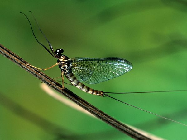 03-flying-insect-mayfly_34248_600x450.jpg 600×450 pixels