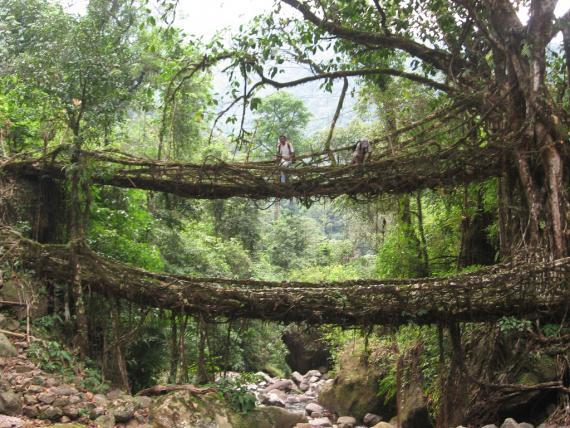The Root Bridges of Cherrapunji located in Shillong, India | Atlas Obscura | Curious and Wondrous Travel Destinations