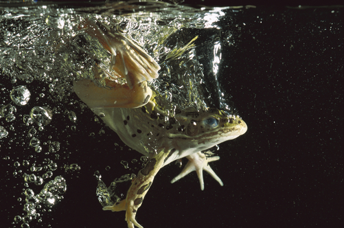 1151064. Northern Leopard Frog (Rana pipiens) jumping into water, native to North America - NG Stock Photography