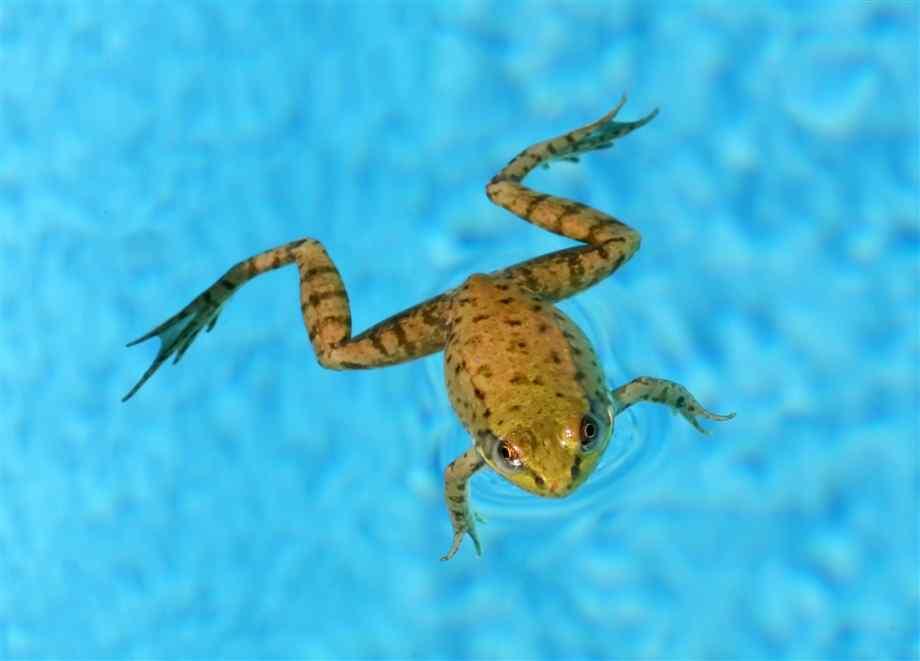 frog-swimming.jpg 920×661 pixels