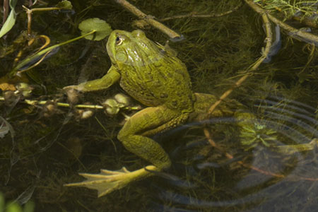 Green_Frog_in_Pond_Arizona.jpg 450×300 pixels