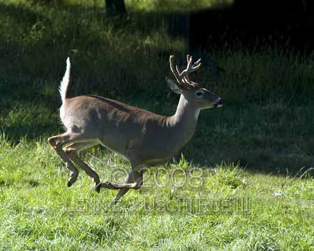 Deer, white tailed buck in velvetOdocoileus virginianus, CervidaeRWP 01574 3
