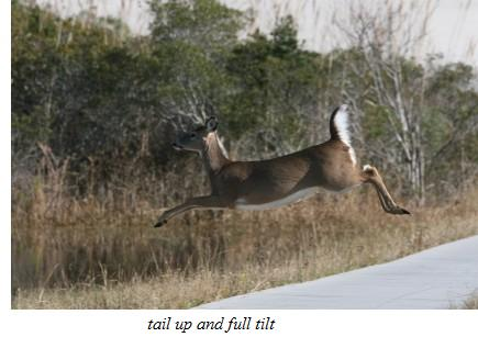 North American Sportsman Whitetail Deer - About The Animal