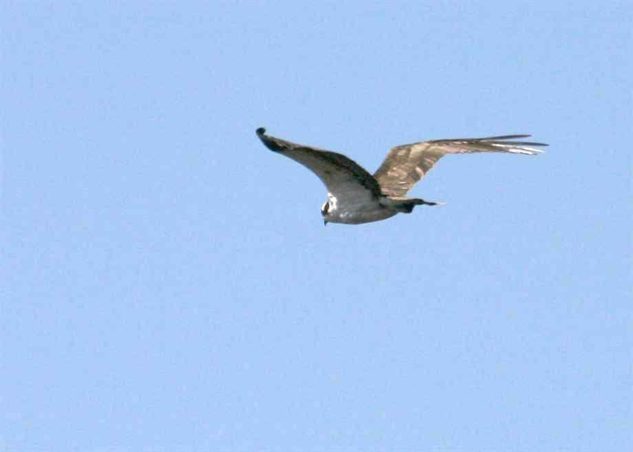 Ospreys, Osprey Pictures (Page 2)