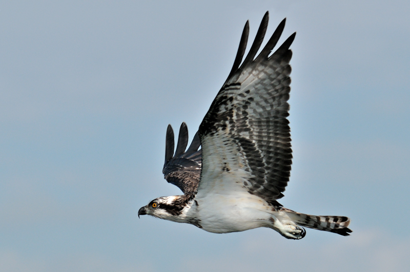 Osprey Photography